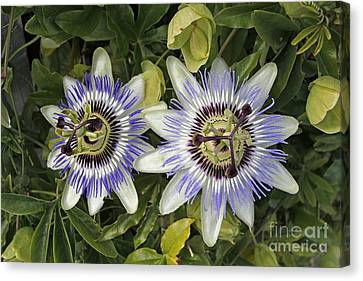 Passiflora Canvas Print - Passion Flower Hybrid Cultivar by Tony Craddock