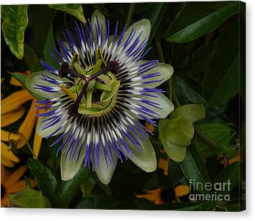 Canvas Print featuring the photograph Passion Flower by Jane Ford