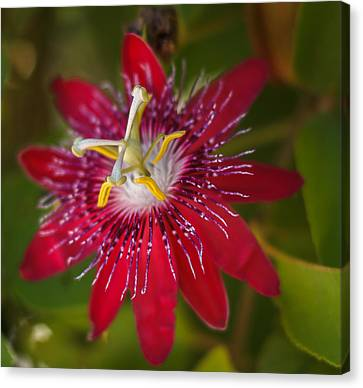 Canvas Print featuring the photograph Passion Flower by Jane Luxton