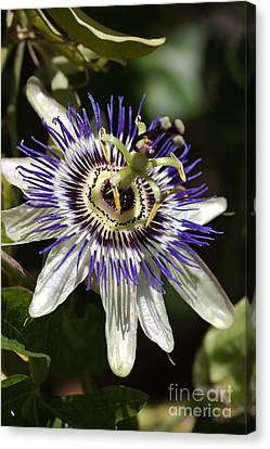 Passion-flower Canvas Print by Joy Watson