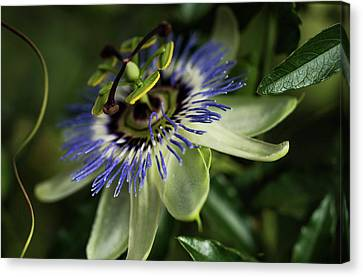 Passion Flower  Passiflora  Blooms Canvas Print by Robert L. Potts