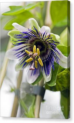 Passiflora Canvas Print - Passion Flower (passiflora Sp.) by Dr Keith Wheeler