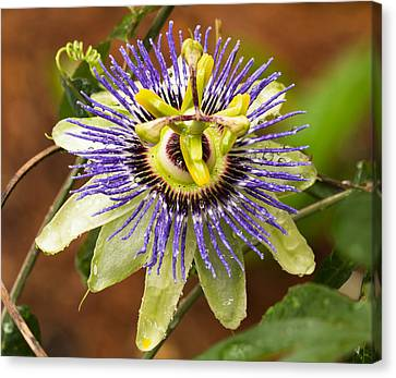 Passion Flower Canvas Print by Patricia Schaefer
