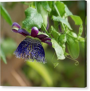 Passiflora Canvas Print - Passion Flower - Ruby Glow by Kim Hojnacki
