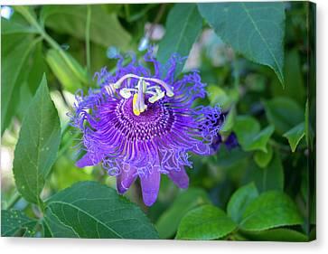 Passion Flower, Usa Canvas Print