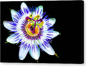 Passion Flower Vine Canvas Print by Keith Homan