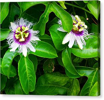 Passion Fruit Flowers Canvas Print by Adriana Dolabella