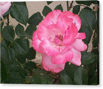 Canvas Print featuring the photograph Passion Pink by Jewel Hengen
