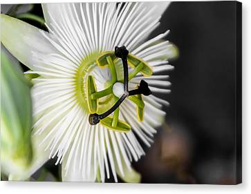 Passionflower Canvas Print by Photographic Art by Russel Ray Photos