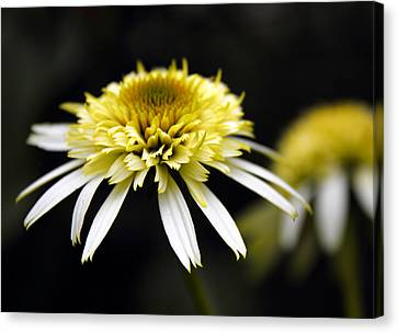 Cone Flower Canvas Print - Past And Present by Jessica Jenney