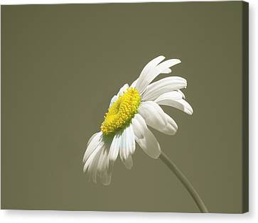Pastel Daisy Flower Canvas Print by David Dehner