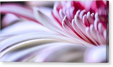 Pastel Gerbera Canvas Print by Adam Romanowicz