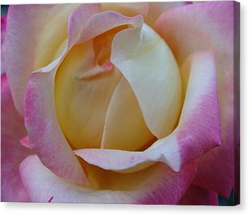Pastel Rose Canvas Print by Brian Jones