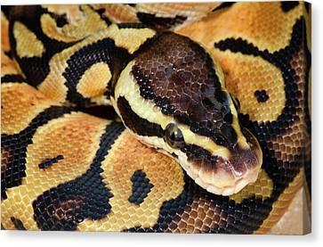 Pastel Royal Python Canvas Print by Nigel Downer