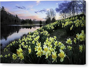 Pastel Skies Over The Laurel Ridge Daffodils Canvas Print