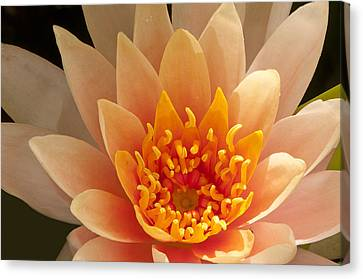 Pastel Waterlily Canvas Print