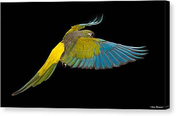 Patagonian Conure In Flight 2 Canvas Print