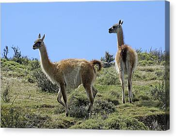 Patagonian Guanacos Canvas Print by Michele Burgess
