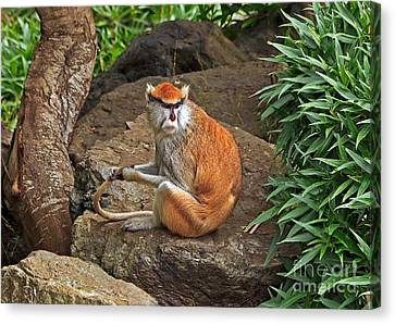 Canvas Print featuring the photograph Patas Monkey by Kate Brown