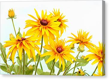 Patch Of Black-eyed Susan Canvas Print by Steve Augustin
