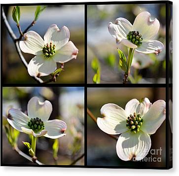 Patched Together Dogwoods Canvas Print by Eva Thomas