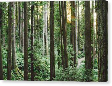 Path In The Redwoods Canvas Print by Andrea Borden