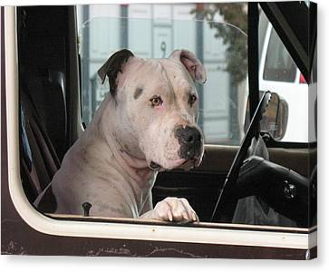 Patient Rose Pit Bull Dog Portrait In Evanston Wyoming Canvas Print by  Andrea Lazar