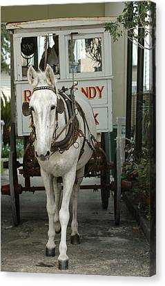 Patsy The Mule Canvas Print