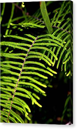 Canvas Print featuring the photograph Pauched Coral Fern by Miroslava Jurcik