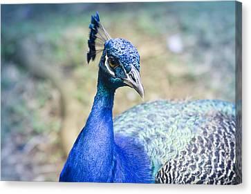 Tropical Bird Postcards Canvas Print - Pavo Cristatus II Indian Blue Peacock by Sharon Mau