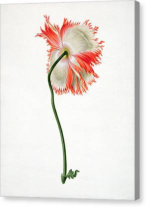 Field Poppy Canvas Print by Pieter Withoos