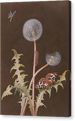 Pd.380-1973 Dandelion With Insects Canvas Print by Margaretha Barbara Dietzsch