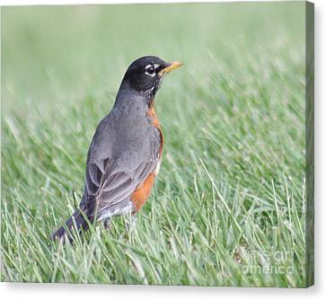 Canvas Print featuring the photograph Peaceful Robin by Anita Oakley