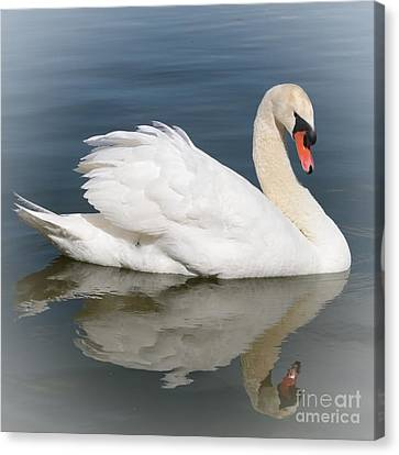 Glassy Wing Canvas Print - Peaceful Swan by Carol Groenen