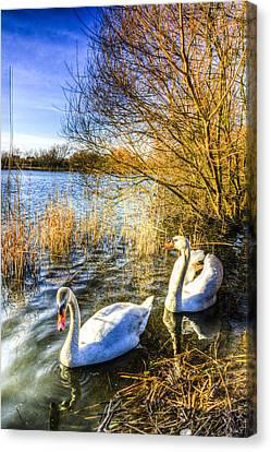 Peaceful Swans Canvas Print by David Pyatt