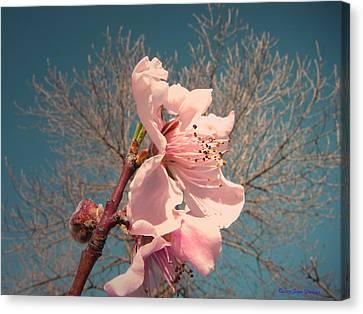 Peach Blossom 2013 Canvas Print by Joyce Dickens