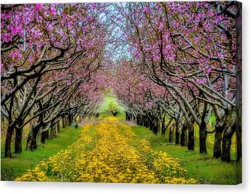 Peach Blossoms Dandelion Carpet Canvas Print by Henry Kowalski