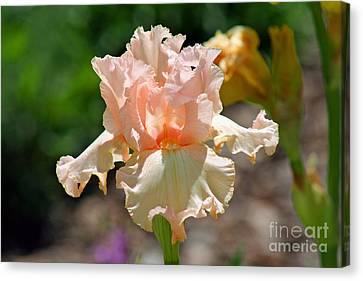 Peach-colored Iris Canvas Print by Karen Adams