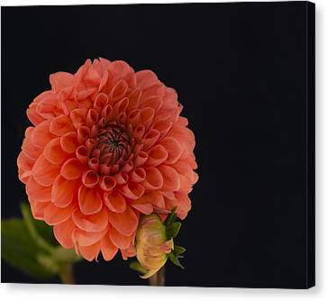 Peach Dahlia Canvas Print