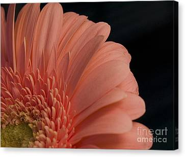 Peach Daisy Canvas Print by Brenda Doucette
