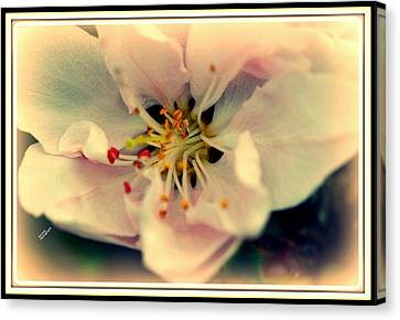 Pestal Canvas Print - Peach Flower by Karen Kersey