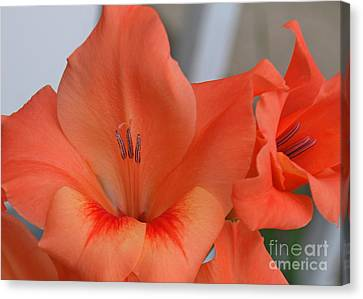 Peach Glads 2 Canvas Print