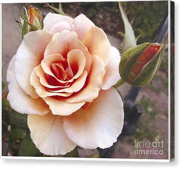 Peach Rose 1 Canvas Print