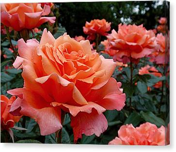 Peach Roses Canvas Print by Rona Black