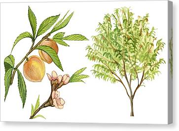 Peaches Canvas Print - Peach Tree by Anonymous