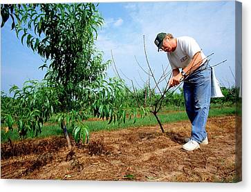 Peach Tree Short Life Disease Research Canvas Print by Rob Flynn/us Department Of Agriculture