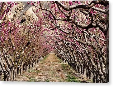 Peach Tree Tunnel Canvas Print by John McArthur