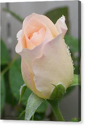 Canvas Print featuring the photograph Fragile Peach Rose Bud by Belinda Lee