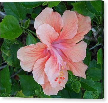 Peachy Hibiscus Canvas Print
