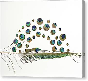 Peacock Attraction 5 Canvas Print by Chris Maynard